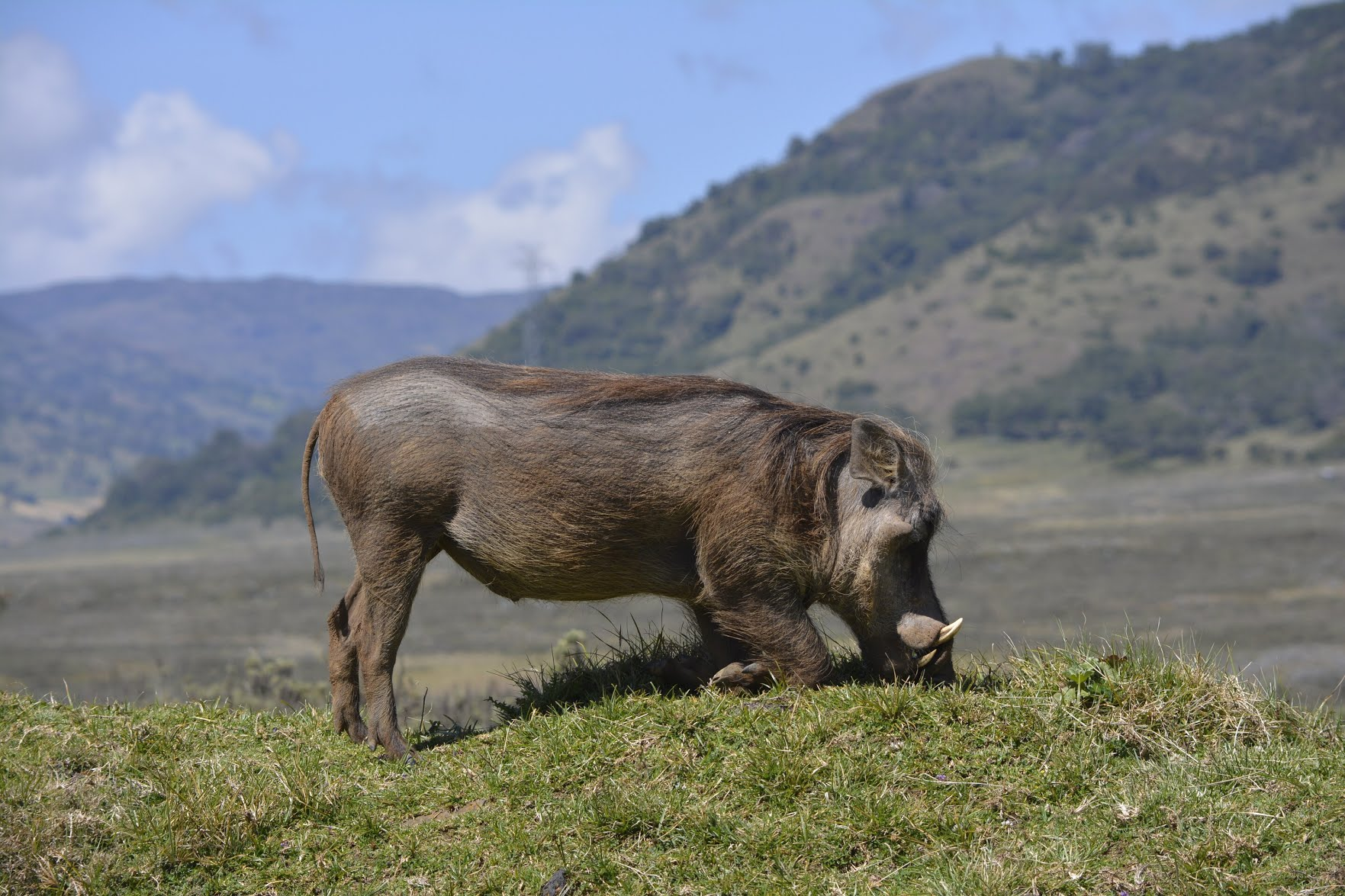 A warthog grazes in the Bale Mountains