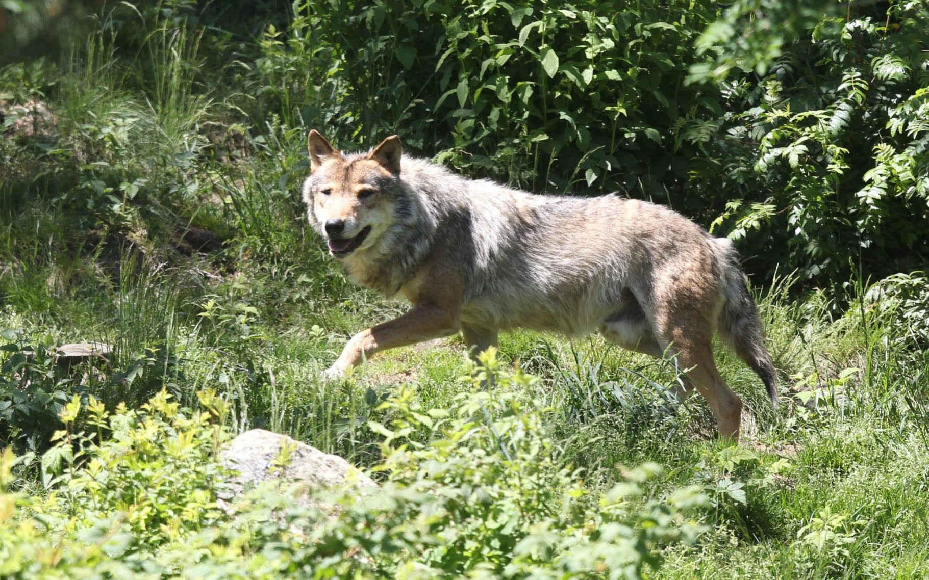 French politician fined for offering official a wolf's tail as 'retirement present'